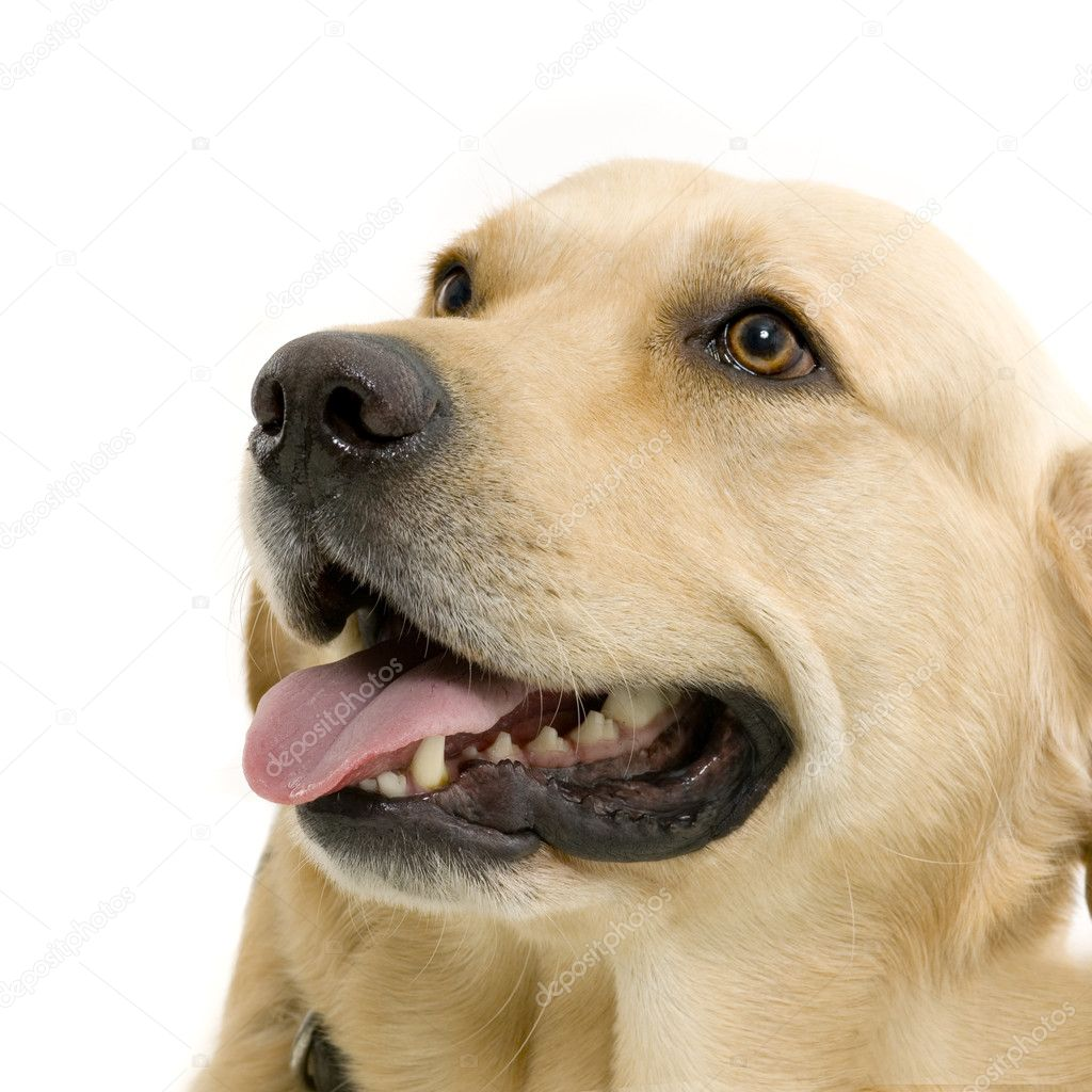 Golden Retriever (2 years) in front of a white background — Stock Photo #10862084