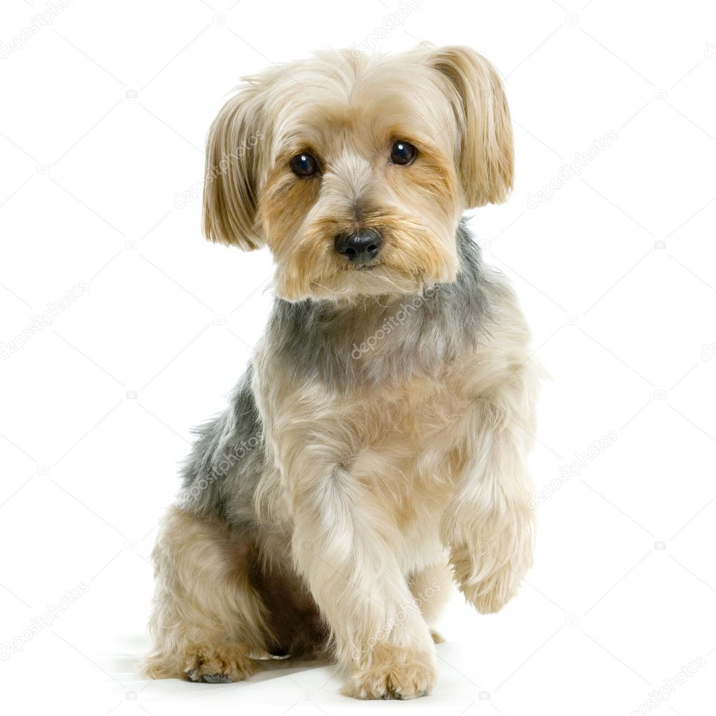Portrait of yorkshire Sitting in front of white background — Stock Photo #10862096