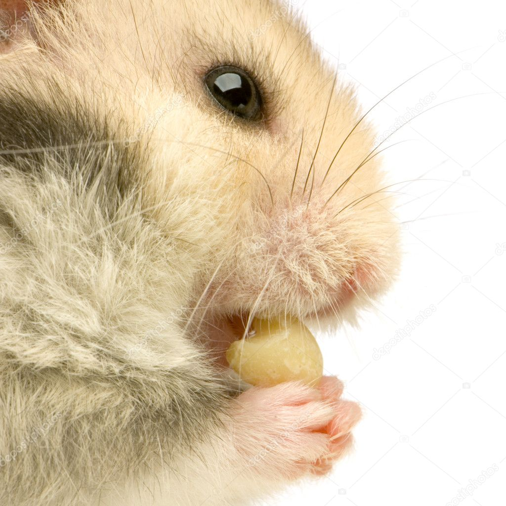 一只仓鼠站起来和寻找食物在白色背景前的配置文件