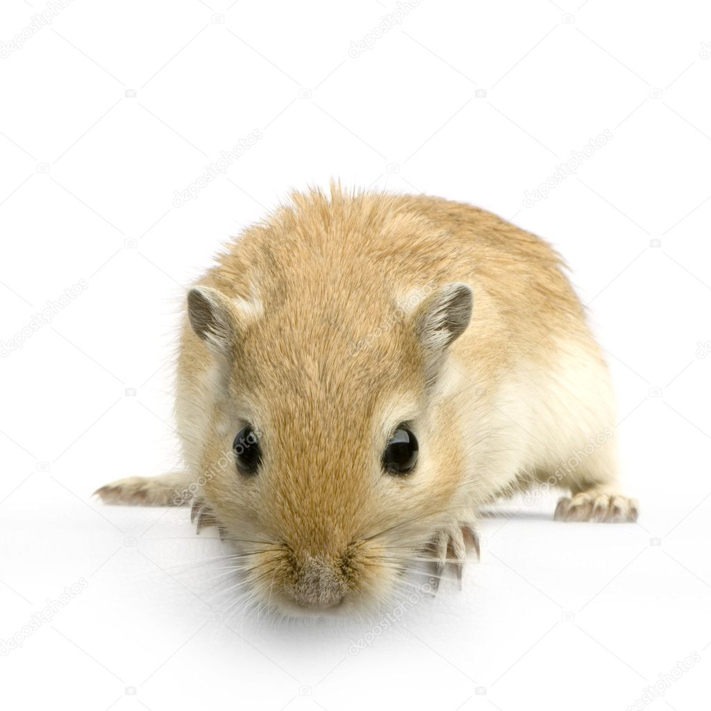 Gerbil in front of a white background — Stock Photo #10862544