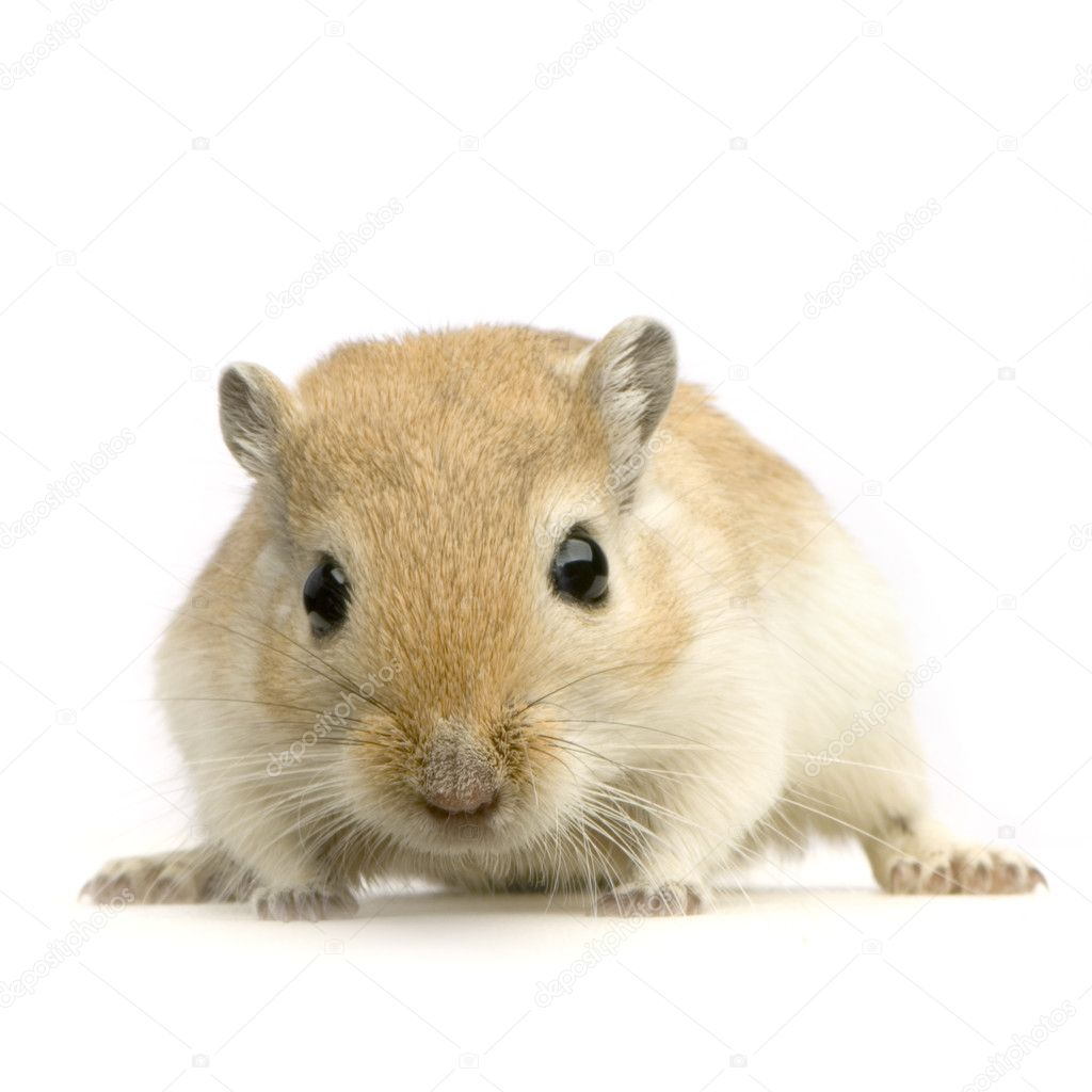 Gerbil in front of a white background — Stock Photo #10862546