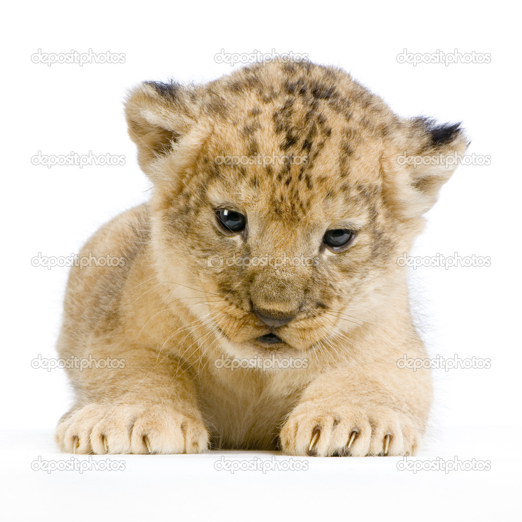 Lion Cub  (3 weeks) lying down in front of a white background. All my pictures are taken in a photo studio. — Stock Photo #10863038