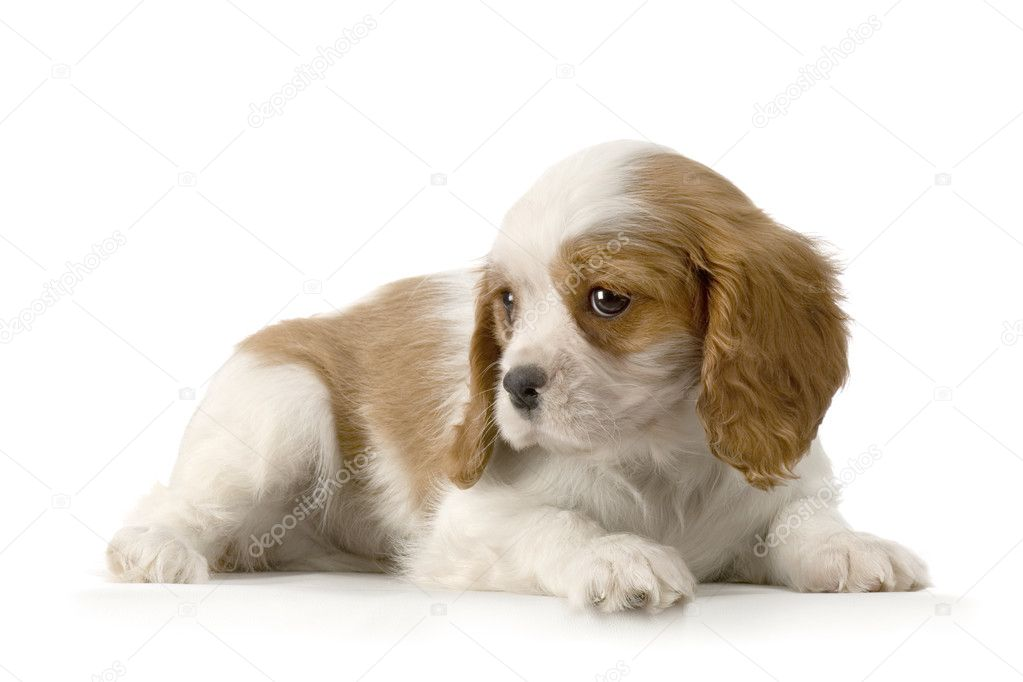 Cavalier King Charles puppy in front of a white background — Stock Photo #10863640
