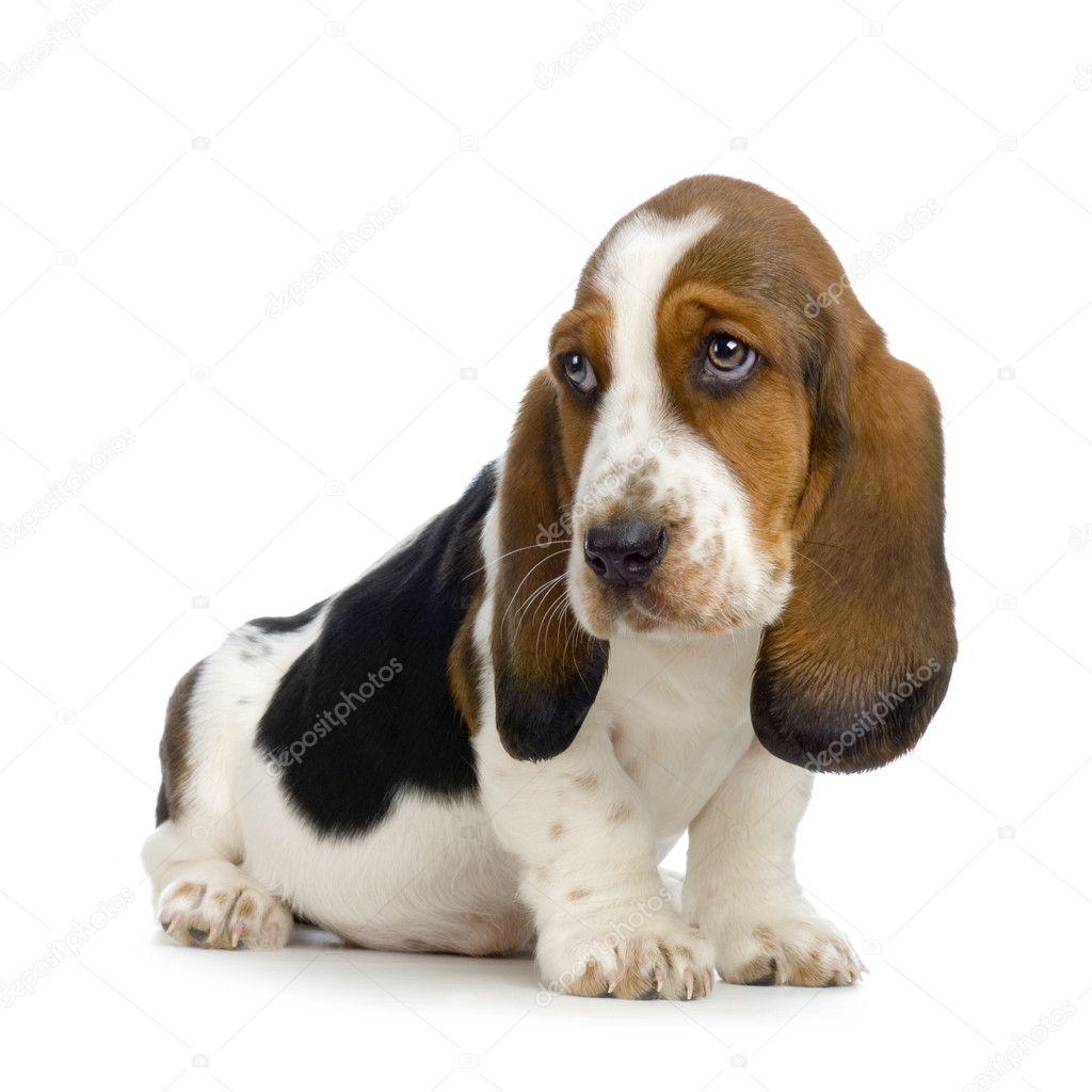 basset hound puppy hush puppies stock photo lifeonwhite 10863805. Black Bedroom Furniture Sets. Home Design Ideas