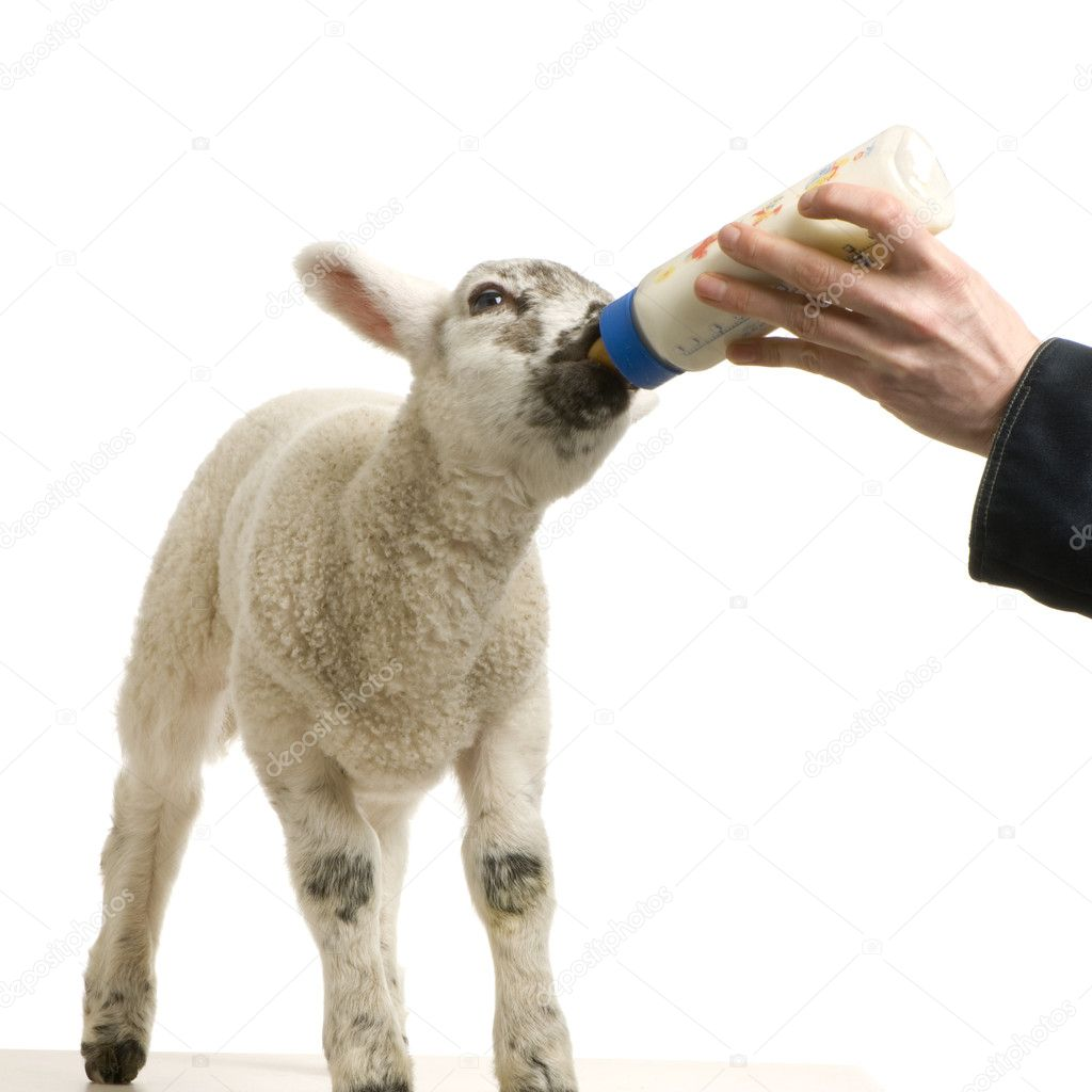 Lamb standing up, isolated on a white background  Stock Photo #10864761