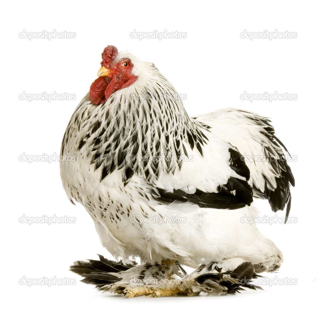 Rooster in front of a white background — Stock Photo #10865010