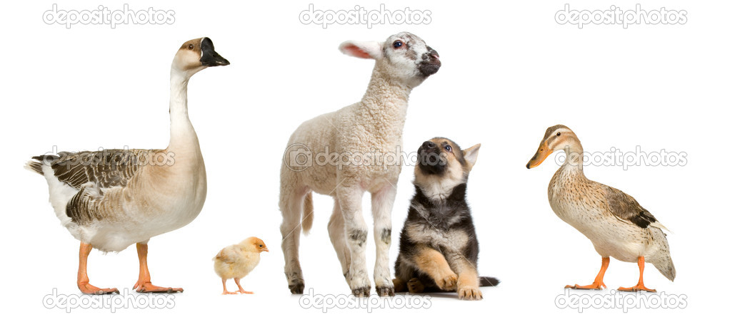 Farm animals in front of a white background — Stock Photo #10865175