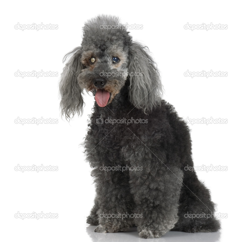 Very old dog in front of white background — Stock Photo #10866806