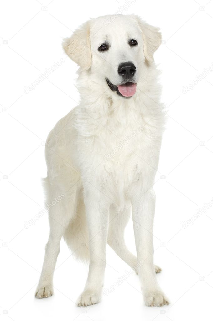 Juvenile Labrador retriever cream in front of white background and facing the camera  Stock Photo #10867539