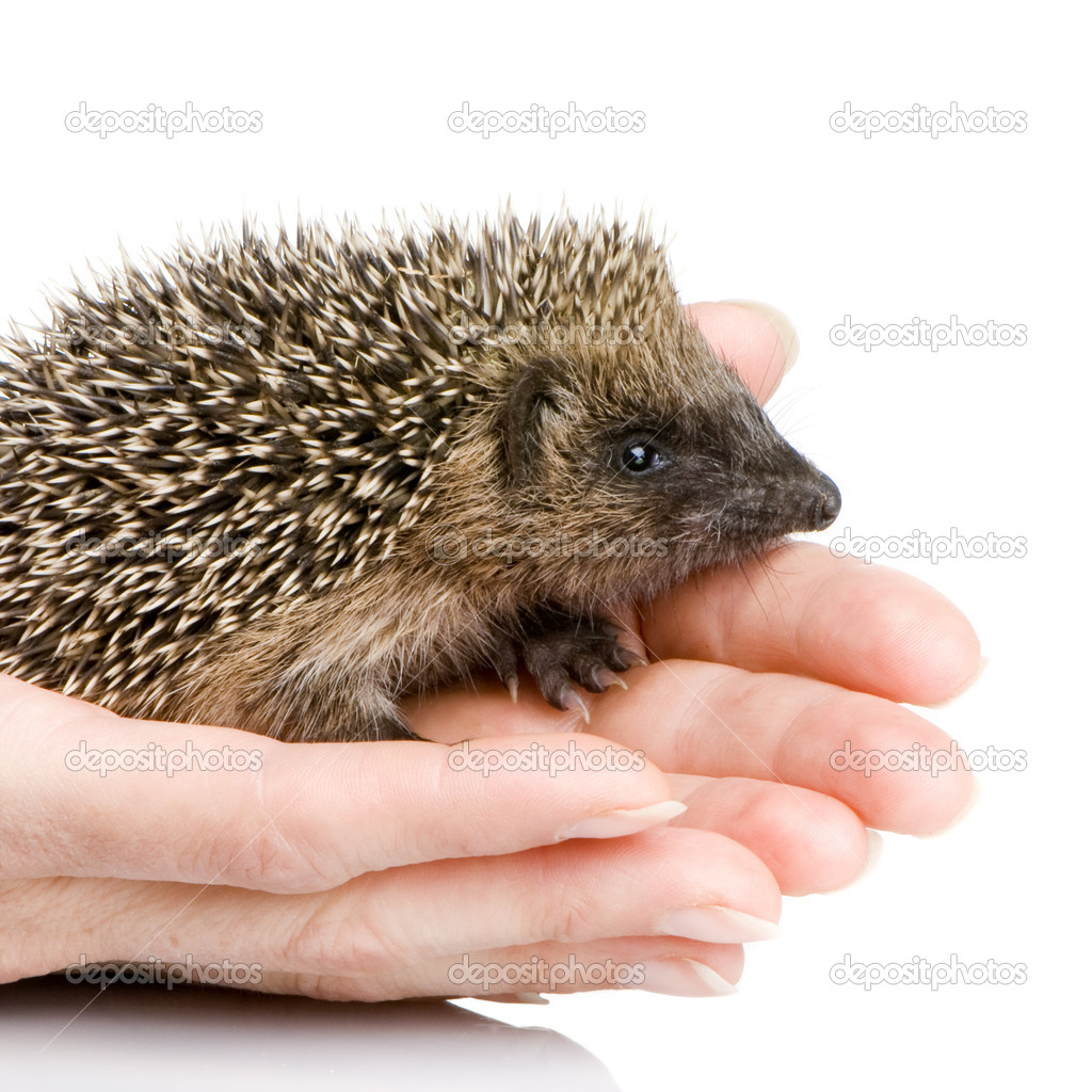 Hedgehog (1 mounths) in front of a white background — Stock Photo #10868349