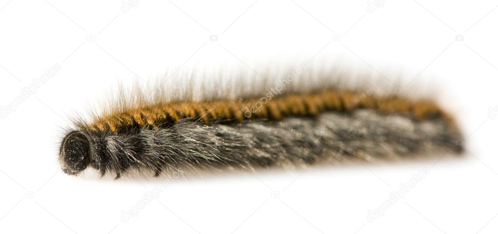 Hairy Caterpillar in front of a white background  Stock Photo #10868841