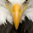 Bald Eagle (22 years) - Haliaeetus leucocephalus - Stock Photo