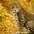Stock Photo: Jaguar - Pantheronca