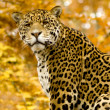 Jaguar - Panthera onca — Stock Photo
