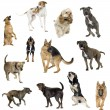 Stock Photo: Collection of 12 dogs in different positions
