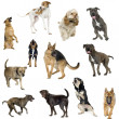 Collection of 12 dogs in different positions — Stock Photo
