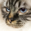Blu-tabby-point Birman (18 months) - Stock Photo