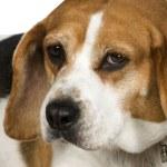 Постер, плакат: Beagle 3 years