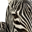 Zebra - Stock Photo
