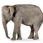 Asian Elephant - Elephas maximus (40 years) — Stock Photo #10871790