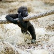 Stock Photo: young silverback gorilla