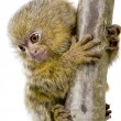 Pygmy Marmoset (5 weeks) - Callithrix (Cebuella) pygmaea — Stock Photo