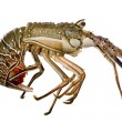Spiny lobster - Palinuridae — Stock Photo