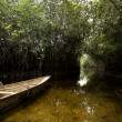 Mangrove swamp - Stock Photo