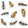 Ladybird larvae — Stock Photo