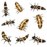 Ladybird larvae — Stock Photo