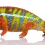 Chameleon Furcifer Pardalis - Ambilobe (18 months) — Stock Photo #10873925