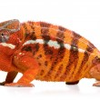 Stock Photo: Chameleon Furcifer Pardalis - Sambav(2 years)
