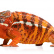 Chameleon Furcifer Pardalis - Sambava (2 years) - Stock Photo