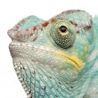 Young Chameleon Furcifer Pardalis - Nosy Be(7 months) — Stock Photo
