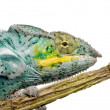 Chameleon Furcifer Pardalis - Nosy Faly (18 months) — Stock Photo