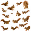 Eurasian red squirrel - Sciurus vulgaris (2 years) in front of a white background — Stock Photo