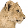 Lion Cub (4 months) — Stock Photo