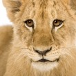 Lion Cub (4 months) — Stock Photo #10874845
