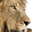 Royalty-Free Stock Photo: Close-up on a Lion&#039;s head (4 and a half years) - Panthera leo
