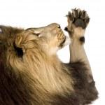 Lion (4 and a half years) - Panthera leo — Stock Photo #10874996