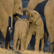 Elephant calf - Stock Photo