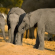 Elephant calf — Stock Photo