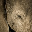 Elephant — Stock Photo #10875187