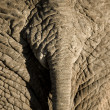 Stock Photo: Elephant's skin