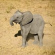 Stock Photo: Elephant calf