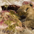 Pride of lion eating - Stockfoto