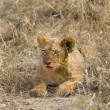 Lion cub — Stock Photo #10875204