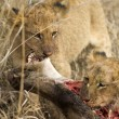 Pride of lion eating — Photo