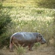 Hippopotamus — Stock Photo #10875255