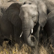 Elephant — Stock Photo #10875260